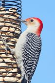 picture of songbird  - Male Red - JPG