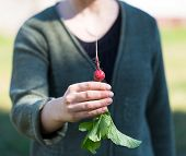 picture of radish  - Woman hands with just picked radish - JPG