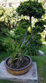 stock photo of bonsai  - Beautiful bonsai in a botanical garden in Monaco - JPG