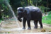 picture of bathing  - Sad looking elephant bathing and splashing water on itself in Thailand after a whole day of working carrying tourists on its back - JPG