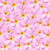 picture of frangipani  - Close up pattern pink frangipani flower texture for background - JPG