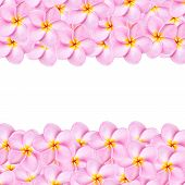 stock photo of frangipani  - Close up pattern pink frangipani flower texture for background - JPG