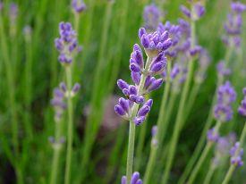 picture of nasturtium  - Violet flowers of nasturtium in the field - JPG