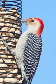 pic of woodpecker  - Male Red - JPG