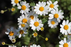 stock photo of feverfew  - A macro photography of feverfew flowers  - JPG