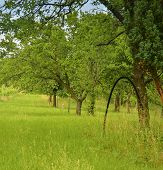 Rural Orchard With Long Grass. Country And Rural Concept poster