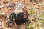 image of gila monster  - A healthy gila monster from the Sonora desert - JPG