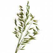 Green Oats plant on white background. Isolated