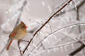 foto of cardinal-bird  - A common winter scene in the midwest is the female cardinal perched near a feeder - JPG