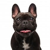 head of happy black french bulldog panting on white background poster