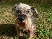 picture of seeing eye dog  - dog with glasses  - JPG