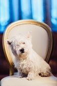Cute West Highland White Terrier Dog Resting On A Leather Chair. Advertising Grooming And Caring For poster