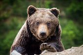 Brown Bear (ursus Arctos) Portrait In Forest poster