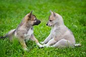Two Lovely Charming Puppies Of Laika Breed Is Sitting On Green Grass poster