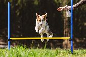 Dog Agility Training With A Cute Puppy Dog On The Meadow, Hurdles And Obstacle poster