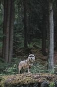 Wolf in forest. Bayerischer Wald national park, Germany.  poster