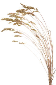 picture of fescue  - dry Brome grass - JPG
