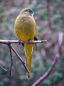 pic of king parrot  - rock parrot - JPG