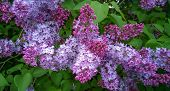 Lilac Blooms. A Beautiful Bunch Of Lilac Closeup. Lilac Flowering. Lilac Bush Bloom. Lilac Flowers I poster