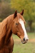 Thoroughbred Young Horse Posing At Rural Equestrian Farm. Portrait Of A Purebred Young Horse Outdoor poster