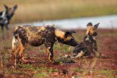 The African Wild Dog (lycaon Pictus), Also Known As The African Hunting Or Painted Dog, Painted Hunt poster