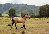 Beautiful Well-groomed Horse Of Light Brown Color With A Trimmed Mane Gallops Along The Valley In Th poster