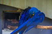 Closeup Of A Hyacinth Macaw Preening Its Feathers, Typical Bird Behavior, Tropical Blue Parrot Speci poster