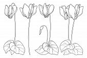Vector Set Of Outline Cyclamen Or Alpine Violet Flower Bunch, Bud And Leaf In Black Isolated On Whit poster