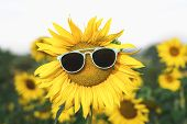 Sunflower With Blue Sunglasses In A Field Of Sunflowers, On A Sunny Summer Day. Happy Summer Vacatio poster
