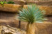 Yucca Tree In Closeup, Tropical Plant Specie From The Desert Of America poster