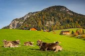 Idyllic meadow with cows and Dolomites mountains in background, Santa Maddalena. Italy poster
