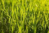 Grass Background. Green Grass Texture Grass At Sunrise Or Sunset poster