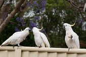 Sulphur-crested Cockatoos Seating On A Fence Eating Bread. Australian Urban Wildlife. Dont Feed Wil poster