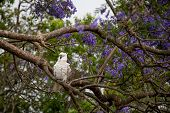Sulphur-crested Cockatoo Seating On A Beautiful Blooming Jacaranda Tree. Australian Urban Wildlife. poster