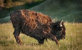 image of wallow  - Young American Bison  - JPG