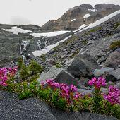 Mountain Heather Lines Alpine Trail In Washington Wilderness poster