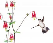 foto of columbine  - A hummingbird focuses in on the sweet nectar of a ruby red columbine flower - JPG