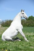stock photo of lipizzaner  - Super white sitting horse in nature in front of some trees - JPG