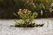 picture of snipe  - Snipe hiding on an island in a lake r - JPG