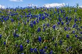 stock photo of bluebonnets  - A Beautiful Wide Angle Shot of a Field Blanketed with the Famous Texas Bluebonnet  - JPG