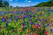 picture of bluebonnets  - Beautiful Field Blanketed with the Famous Bright Blue Texas Bluebonnet  - JPG