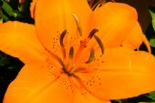 picture of asiatic lily  - Picture of an Asiatic Tiger Lily in full bloom - JPG