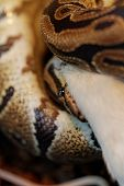 foto of harmless snakes  - Photo of a ball python eating one white mouse