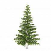image of pinus  - Tree isolated - JPG