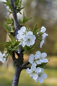 pic of bing  - This is a bing cherry tree - JPG