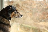foto of dog-house  - a large black German Shepherd mix dog is sitting inside his house looking out the window at the autumn foliage - JPG