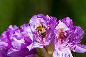 pic of lilas  - eine Hummel krabbelt auf Nahrungssuche in einer lila Bl - JPG