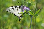 Picture of butterfly swallowtail (papilio machaon).