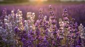 stock photo of lavender plant  - Some lavender with the sun setting behind it