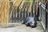 picture of amphibious  - Pygmy hippopotamus  - JPG